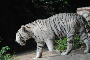 white tiger 3 by AngelicPicture
