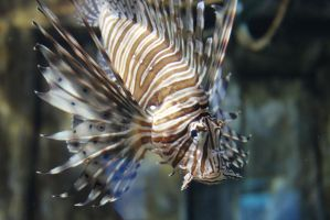 Lion fish 1 by zombiemarshmellow