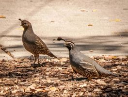 Mom and Dad CA quail by kayaksailor
