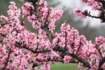 Peach Tree by CASPER1830