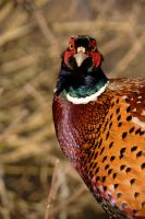Ring Necked Pheasant by GailJohnson