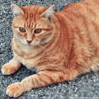 Orange cat 3 by FrancescaDelfino