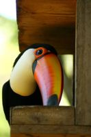 Toco Toucan by timseydell