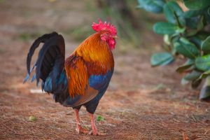 Colorful Rooster! by Steve2008
