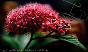 Spiraea japonica by LeroPhotographie