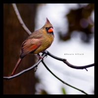 northern cardinal, female by bad95killer