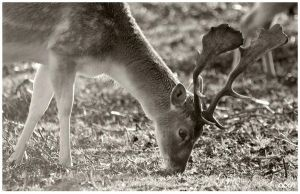 Deer Feed by AshleySmith