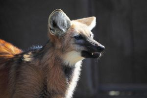 Maned Wolf by Pale-Recluse
