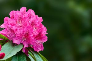 G92 0022 Rhododendron by Partists