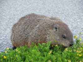 Groundhog 006 by presterjohn1