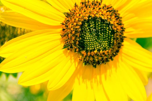 Sunflower-1-2 by anditosan