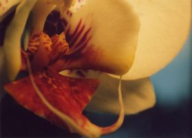 Orchid by caltha