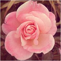 Pink Rose Square by basement-ghost