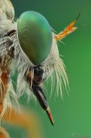 Robberfly portrait by AlHabshi