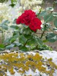 Roses and Lichens by deviantfemale007