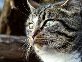 Close-up cat by Pedalis