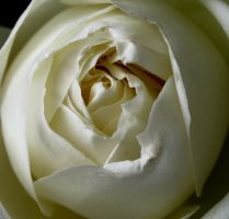 White Rose by ProudlyPagan