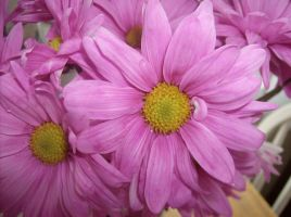 Pink daisies by KBSL