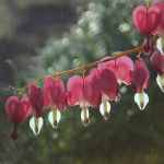 Bleeding heart by vanillapearl