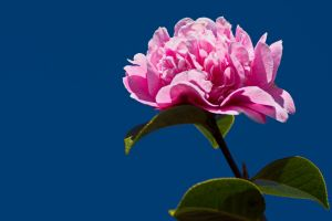 Camelia by Brianthill