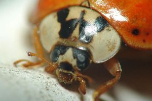 Ladybug Up Close by Apophis906