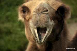 kissing sweet camel by MarlenaLphotography