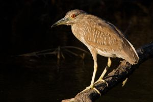 Juvenile Black Capped Night Heron 5 by bovey-photo