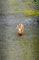 red squirrel by hankandrej