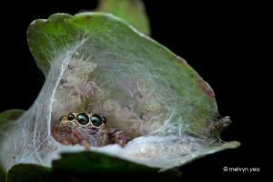 Jumping Spider and her babies by melvynyeo