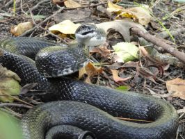 Black Rat Snake Stock 4 by stormymay888