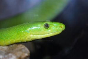 Portrait: Green Mamba by ManitouWolf