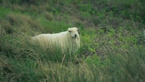 Feeling Sheepish by VincentPhotography