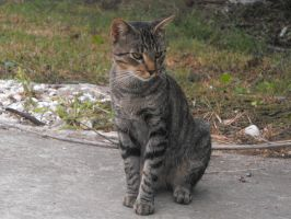 grey tabby stock 1 by tahbi