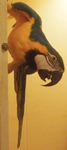 Blue the Blue Macaw by Freeze-pop88