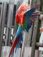Bird Stock 13: Scarlet Macaw Wings by HOTNStock