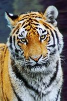 Tiger by Bloddroppe-nature