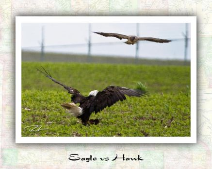 Bald Eagle vs Swainsons Hawk by Merlinstouch