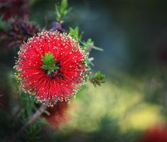 Callistemon by SunOwl