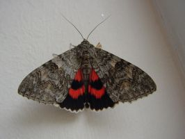 Red Underwing Moth at the Front Door by SrTw