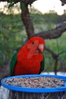 Australian King Parrot by ElocinImages
