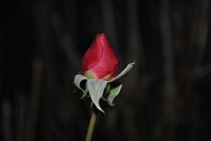 Rose In The Night by Izzy-Nightshade