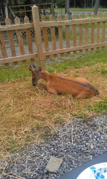 Deer Buck - Prince laying down by Ezoix