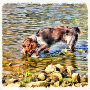 Springer Spaniel by Traveling-Wheelchair