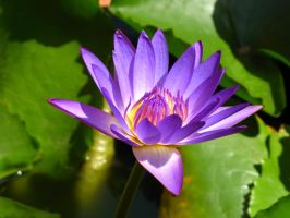 water lily 1848 by fa-stock