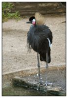 West African Crowned Crane by shawn529
