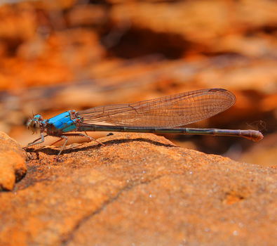 Blue Dragonfly by NC-StormChaser