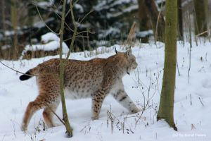 Lynx   Luchs 3 by bluesgrass