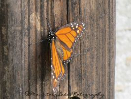 Monarch Butterfly 1 by OneofakindKnight