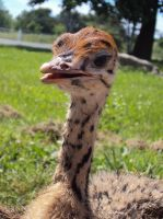 Ostrich Chick by Destroyah93