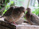 Placid Little Mourning Dove 17 by Windthin